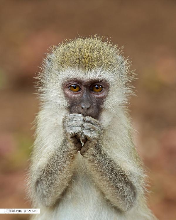 Concerned Vervet Monkey