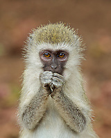 Concerned Vervet Monkey