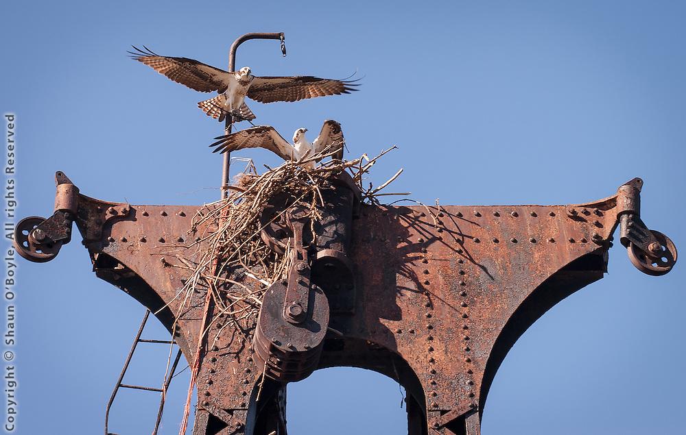 Osprey  with nest on Steam Lighter Bucyrus, Boatyard April 9, 2005