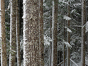 Texture dominates this winter forest scene from Washington State, USA.
