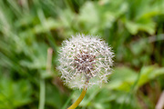 Perfect round dandelion. Photographed on Elfer Mountain, Stubaital, Tyrol, Austria