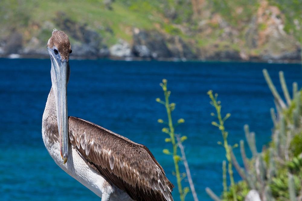Isla Margarita_VEN, Venezuela...Litoral de Isla Margarita na Venezuela. Na foto detalhe de um pelicano marrom (Pelecanus Occidentalis)...Coast of Isla Margarita in Venezuela. In the photo detail of a Brown Pelican (Pelecanus Occidentalis)...Foto: JOAO MARCOS ROSA / NITRO