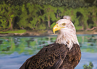 A Bald Eagle Poses Against A Scenic Backdrop