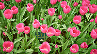 Pink tulips. Tulip festival at Keukenhof Gardens in Lisse, Netherlands. Image taken with a Leica X2 camera.