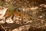 A Mexican Grey Wolf, (Canis lupus spp. baileyi), an endangered species, resides at the Arizona-Sonora Desert Museum in Tucson, Arizona, USA.  The ASDM spearheaded a captive breeding program that is restoring the wolf population. A reintroduction campaign is attempting to restore wolves to their rightful place in the mountains of the Southwest.