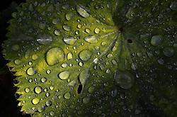 THEMENBILD - Blattfarben des Herbstes, Macroaufnahme, im Bild Gemeiner Frauenmantel (Alchemilla vulgaris), Regentropfen auf Blatt. Bild aufgenommen am 13.09.2013. EXPA Pictures © 2013, PhotoCredit: EXPA/ Eibner-Pressefoto/ Weber<br /> <br /> *****ATTENTION - OUT of GER*****