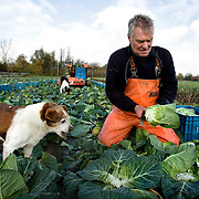 Nederland Barendrecht 12 november 2008 20081112 Foto: David Rozing ..2 mannen rooien handmatig ( met een mes) spitskool op het land. Ivm de natte herfst hebben zij een matige oogst, de kolen zijn kleiner dan normaal. Ivm de slechte weersvoorspellingen, hagel en regen, oogsten zij alle resterende kool op het land. ..Foto: David Rozing