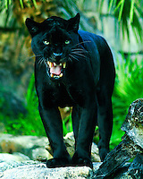 A captive female black jaguar.