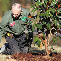 Lee County Master Gardner Dale Smith puts mulch in place as the last thing following the planting of a Magnolia tree to celebrate the Bicentennial of Mississippi's statehood.