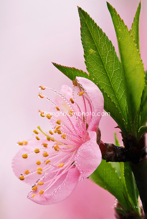 Vietnam Images-flower-cherry blossoms- Moc Chau -Hoàng thế Nhiệm