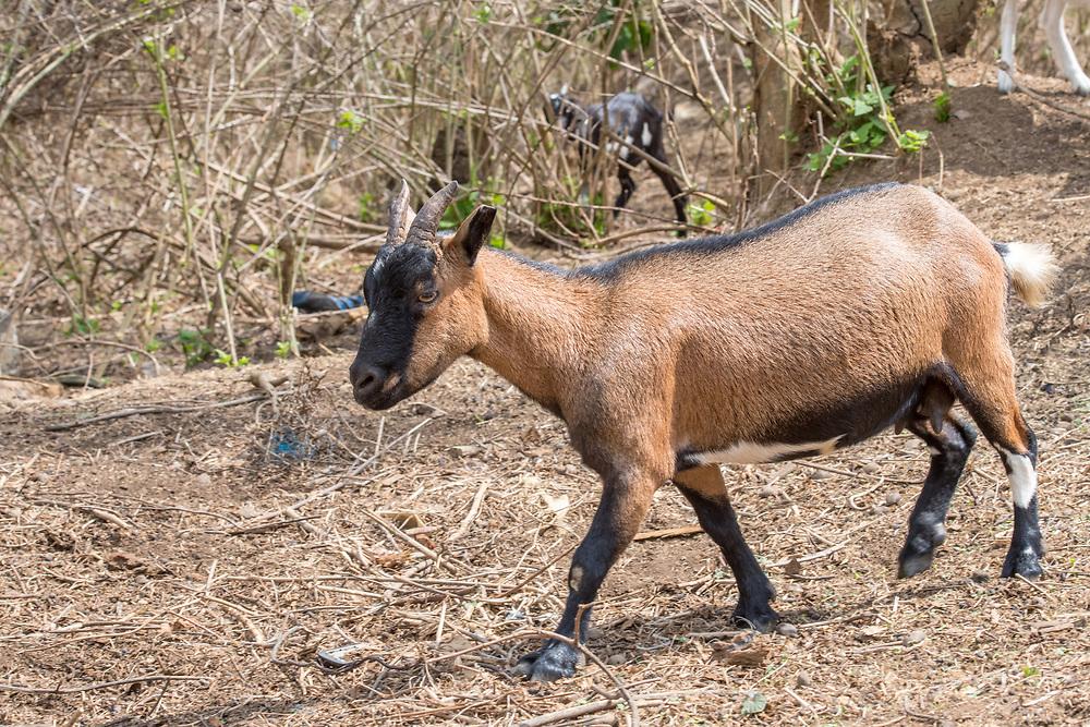 A goat (Capra aegagrus hircus) walks through branches in Ganta, Liberia