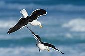 Gulls, Skuas, Terns & Skimmers