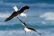 Kelp Gulls