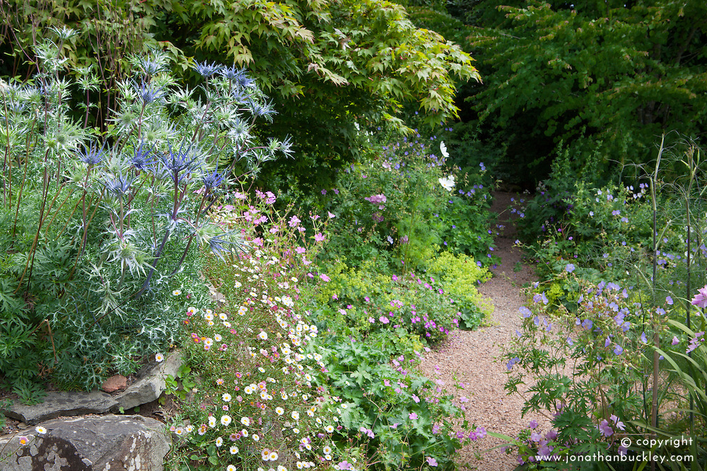 Eryngium bourgatii Blue Form on top of the wall with Erigeron karvinskianus - Mexican daisy. Gravel path leading into the woodland garden at Glebe Cottage