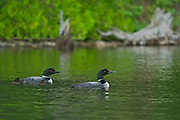 Common loon (Gavia immer) with chick on Cassels Lake<br /><br />Ontario<br />Canada