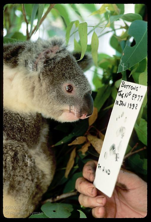 Year-old koala, Buttons, eyes own fingerprint card used as ID @ Univrsty of Queensland; Brisbane Australia