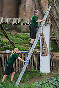 Lion keepers hang a bag to entice the lions to stand in front of the ruler - The annual weigh-in records animals' vital statistics at ZSL London Zoo. London, 24 August 2017