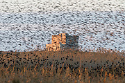 """At sunset a """"dark cloud"""" covers the Aragonese Tower. Last year, according to Torre Guaceto researchers, more than 5 millions common starlings (Sturnus vulgaris) gathered in the reserve's cane thickets, the biggest roosting ever recorded."""