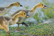 Middletown, New York - Canada geese and goslings at Fancher-Davidge Park on May 6, 2013.