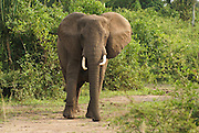 Elephants at Uganda Queen Elizabeth National Park
