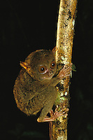 A Philippine tarsier (Tarsius syrichta) clings to a tree limb.