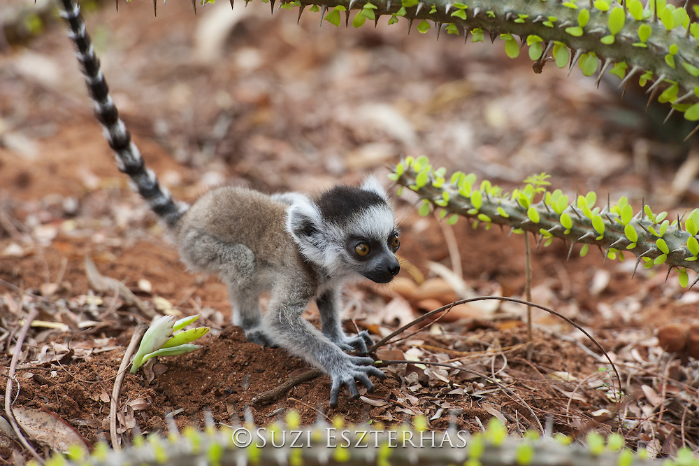 Ring-tailed Lemur<br /> Lemur catta<br /> Two-week-old baby wobbly on ground<br /> Berenty Private Reserve, Madagascar