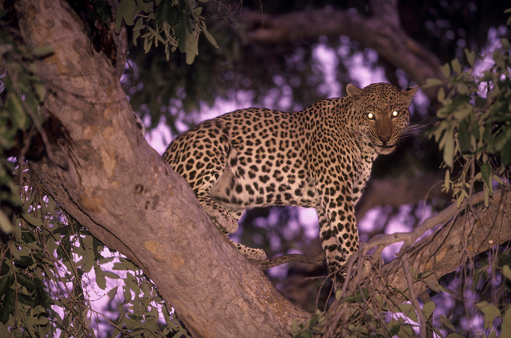 Africa, Botswana, Moremi Game Reserve, Adult Male Leopard (Panthera pardus) feeding on Warthog kill cached in tree branch