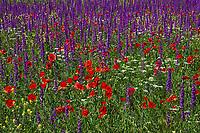 Armenie, province de Vayots Dzor, champs de fleurs // Armenia, Vayots Dzor province, flowers field