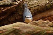 Nuthatch (Sitta europaea, Syn.:Sittelle torchepot) on oak. National Park Saxon Switzerland (Saechsische Schweiz), Germany. |  Kleiber (Sitta europaea), auch Spechtmeise sitzt auf einer Eichenrinde. Niedersächsische Elbtalaue, Deutschland