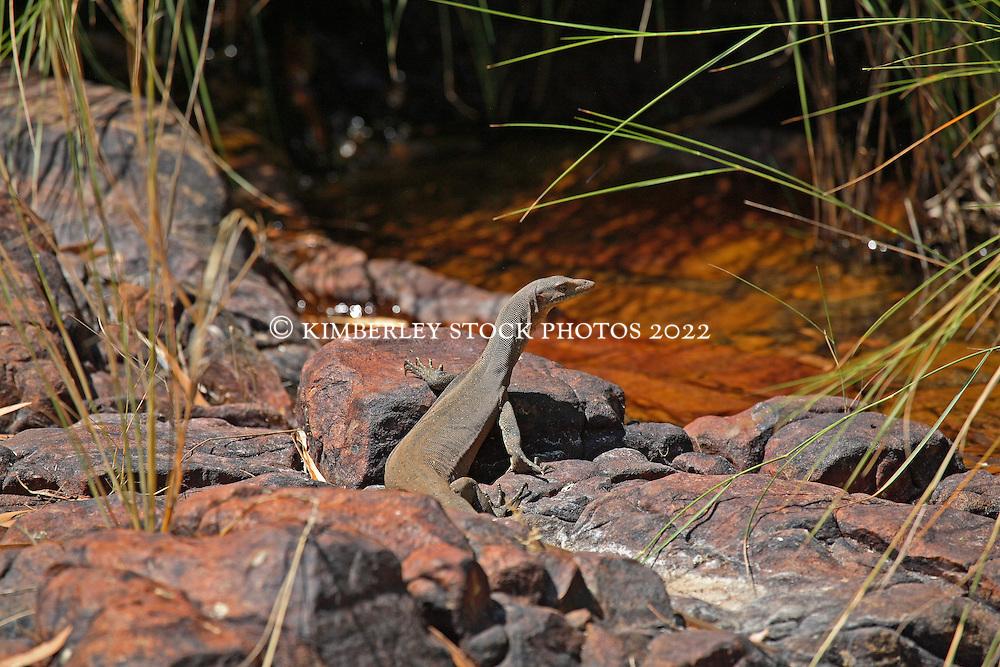 Merten's water monitor (Varanus mertensi) near freshwater on Augustus Island in Camden Sound.  This lizard is seldom seen far from water.