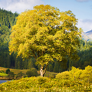 Summer birch by the banks of Loch Chon