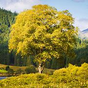 Summer birch by the banks of Loch Chon