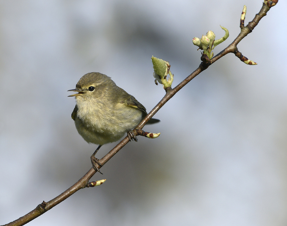 Chiffchaff - Phylloscopus collybita. L 11cm. Tiny warbler, best known for its onomatopoeic song. Sexes are similar. Adult and juvenile have grey-brown upperparts and pale, greyish underparts suffused with yellow-buff on throat and breast. Bill is needle-like and legs are black; latter feature helps separate silent individuals from similar Willow Warbler. Voice Call is a soft hueet. Song is continually repeated chiff-chaff or tsip-tsap. Status Common summer visitor to mature deciduous woodland with a dense understorey of shrubs. Most migrate south to Mediterranean region in autumn but several hundred overwinter in S Britain.