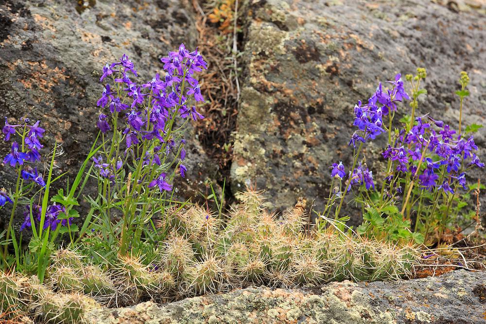Duncecap Larkspur, Yellowstone National Park