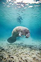 Manatee (Trichechus manutus) Florida, USA, underwater view