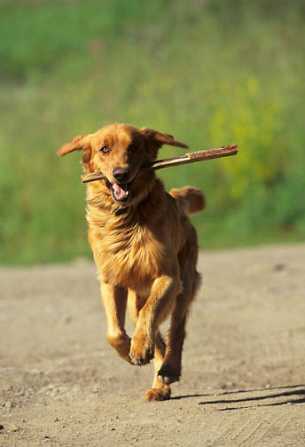 A Golden Retriever fetching.  Montana.