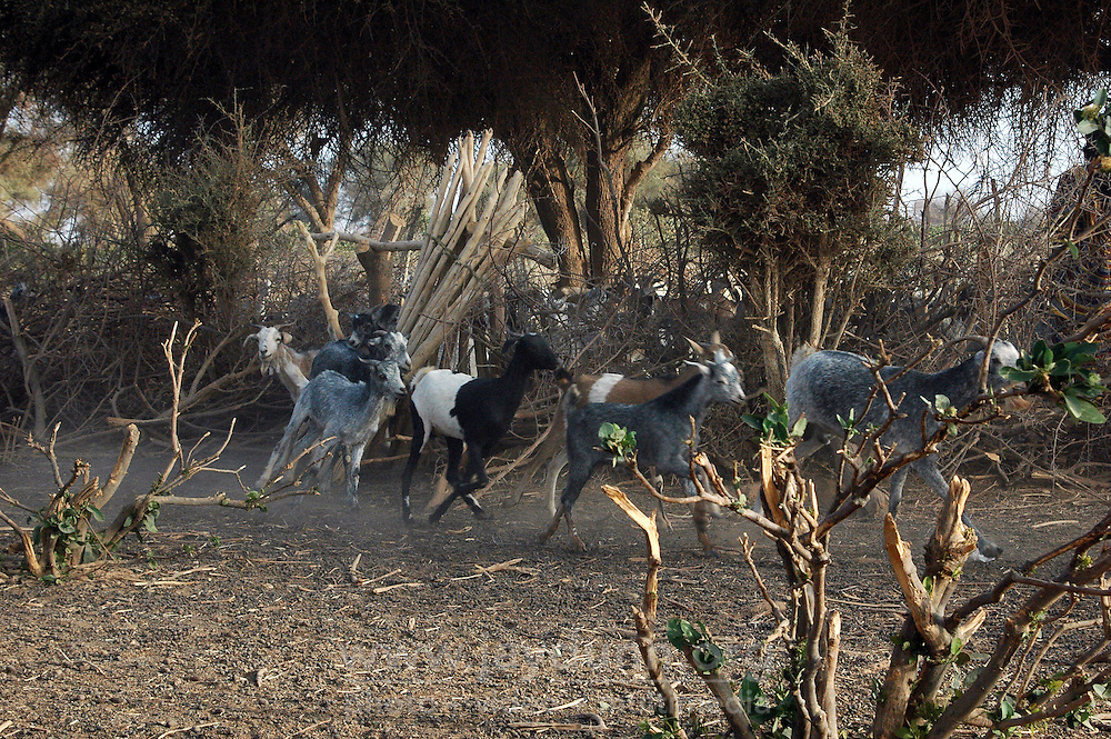 Niger, Agadez, Tidene, 2007. The herd is happy to be let out in the morning for grazing. Each will return to the stockade by nightfall.