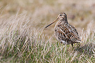 Portrait of a Magellanic Snipe (Gallinago paraquaiae magellanica), Sea Lion Island, Fakland Islands