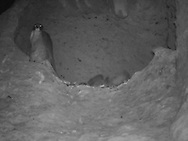 Adult female peregrine falcon attends the young at night until they are nearly full grown, perched on edge of eyrie cave at midnight, nestlings sleeping. © 2016 David A. Ponton [infrared photo by motion-activated camera, low-resolution limits repro. size]