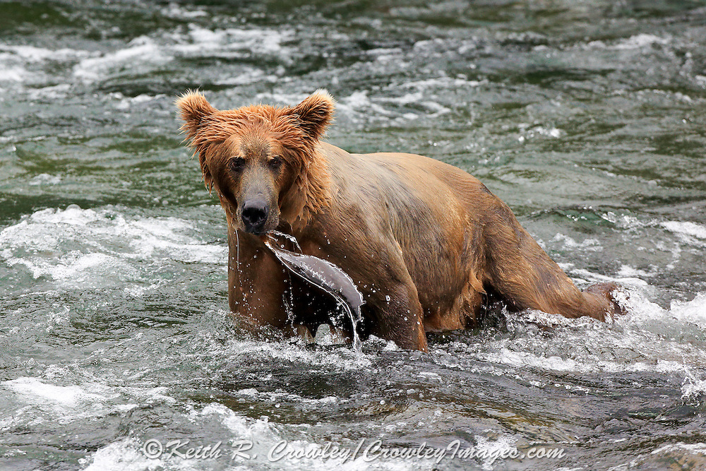 A Brown bear raises it's head after looking underwater for salmon in the Brooks River, at Katmai National Park