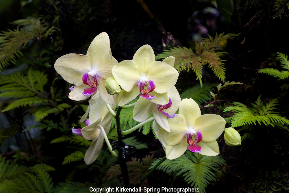 HI00333-00...HAWAI'I - Orchid in the Hawaii Tropical Botanical Garden near Hilo on the Island of Hawai'i.