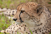 Cheetah (Rescued)<br /> Acinonyx jubatus<br /> Emdomeni Cat Rehabilition Center<br /> South Africa