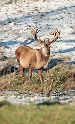 Red deer stags forage for food in the snow.<br /><br />The snow had taken West Lothian by surprise on Christmas night.<br /><br />(c) Alex Todd   Edinburgh Elite media