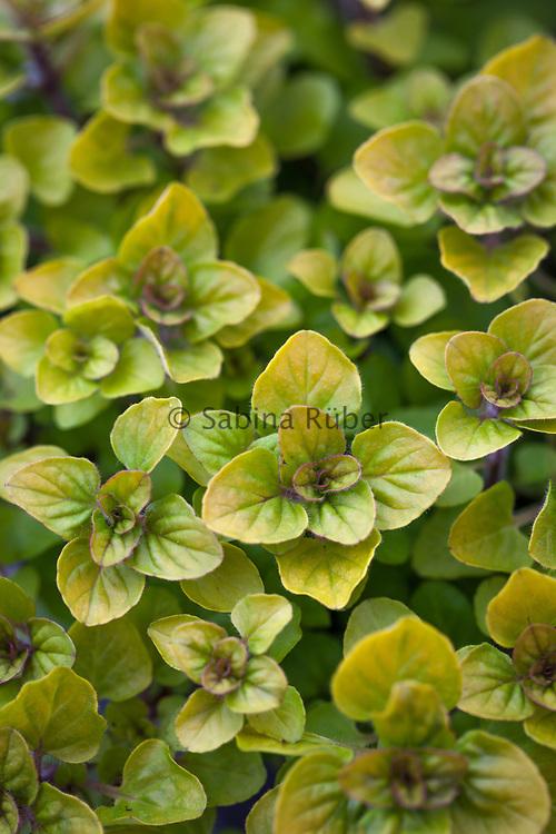 Origanum vulgare 'Aureum' - gold leaved oregano