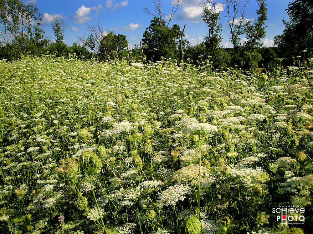 A field of Queen Anne's Lace  in a park near my home.