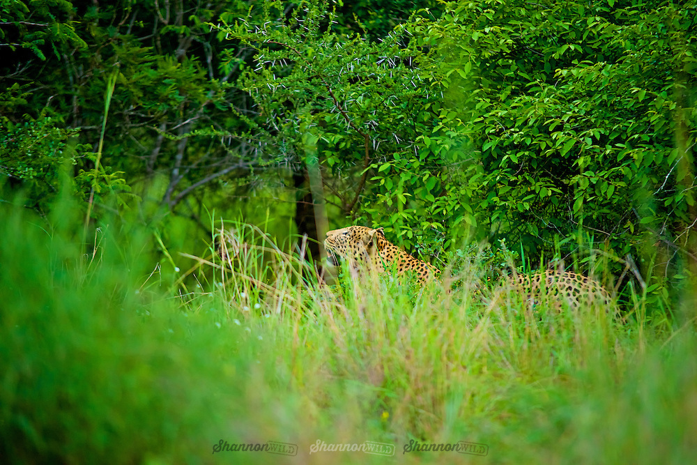 A large male leopard looks up as it's hidden amongst lush green bush.<br /> <br /> The leopard is one of the five &quot;big cats&quot; in the genus Panthera. It is a member of the Felidae family with a wide range in some parts of sub-Saharan Africa, West Asia, the Middle East, South and Southeast Asia to Siberia.