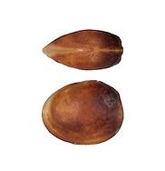 Pea Cockle or Pea Clam - Pisidium casertinum