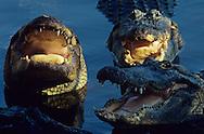 Vereinigte Staaten von Amerika, USA, Florida: amerikanischer Mississippi-Alligator (Alligator mississippiensis). Drei Alligatoren warten mit offenem Maul auf die Fuetterung mit Fisch. | United States of America, USA, Florida: American Alligator, Alligator mississippiensis, three Alligators in the water, waiting with open mouth for fish. |