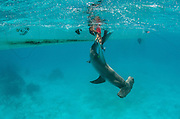 Great Hammerhead shark (Sphryna mokarran) research<br /> MAR Alliance<br /> Lighthouse Reef Atoll<br /> Belize<br /> Central America
