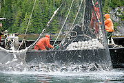 Commercial fishing boat brings ain a net full of slamon near Sitka, Alaska.